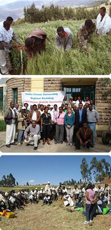 Эфиопия - сбор урожая ячменя