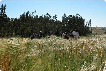 Поле ячменя в Эфиопии
