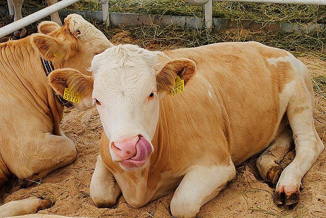 Корова з язиком на Агро-2011