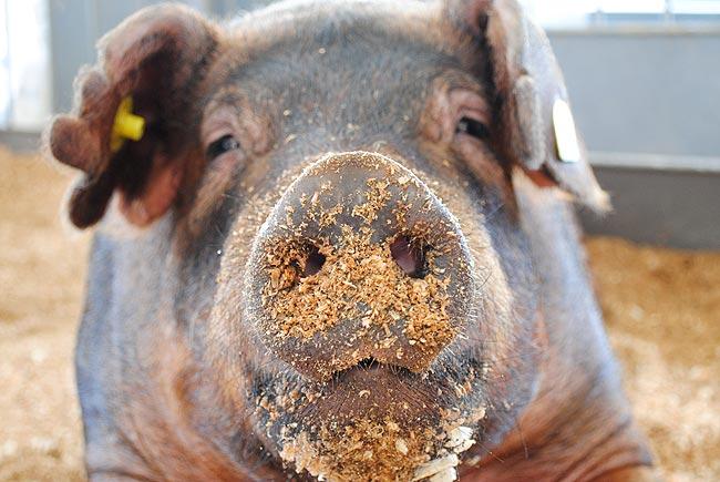 Свиня в тирсі на Агро-2011
